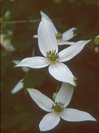 Clematis montana group from the Himalayas