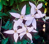 Clematis tongluensis from Sikkim