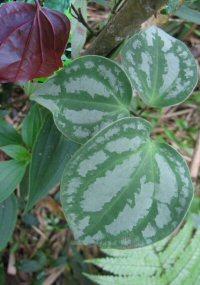 Clematis aff. smilacifolia