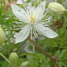 Clematis parviloba v. bartletii