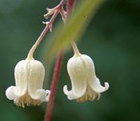 Clematis acuminata v. sikkimensis