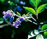 Clematis urticifolia