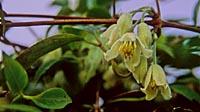 Clematis fasciculiflora