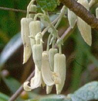 Clematis buchananiana