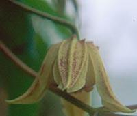 Clematis chiisanensis