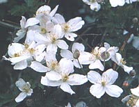 Clematis montana group from China