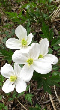 Clematis gracilifolia