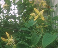 Clematis tashiroi 'Yellow Peril'