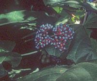 Clerodendrum colebrookianum
