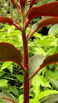 Clethra petelotii