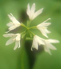 Clintonia udensis from Nepal