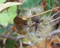 Clematis japonica