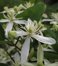 Clematis fujisanensis