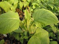 Clerodendrum aff. subscaposum