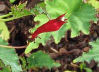Centropogon costaricae