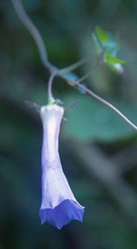 Codonopsis gracilis
