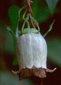 Codonopsis viridis