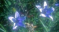Codonopsis vinciflora