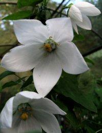 Codonopsis grey-wilsonii 'Himal Snow'