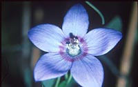Codonopsis grey-wilsonii