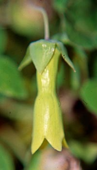 Codonopsis kawakamii