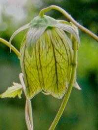 Codonopsis rotundifolia var. angustifolia