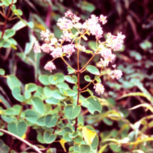 Colignonia ovalifolia