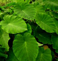 Colocasia formosana