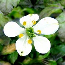 Coptis quinquefolia