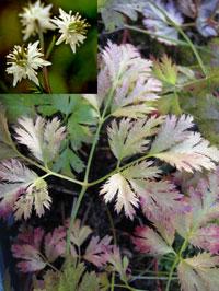 Coptis japonica v. dissecta