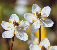Coptis quinquefolia v. ramosa