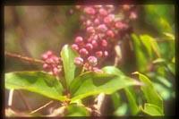 Coriaria japonica ssp. intermedia
