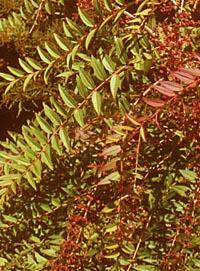 Coriaria intermedia
