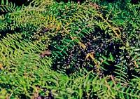 Coriaria pteridoides