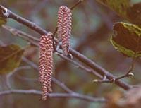 Corylus ferox