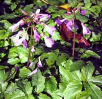 Cardamine quinquifolia