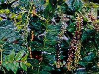 Coriaria ruscifolia