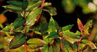 Coriaria sarmentosa Lake Wakitipu form
