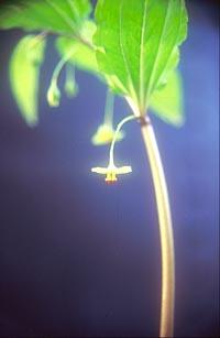 Croomia heterosepala