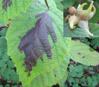 Corylus sieboldiana