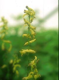 Corydalis chaerophylla