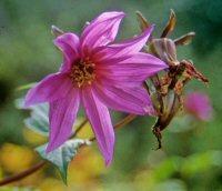 Dahlia aff. australis