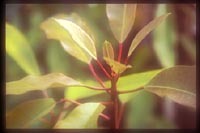 Daphniphyllum kengii