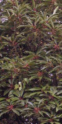 Daphniphyllum longeracemosum