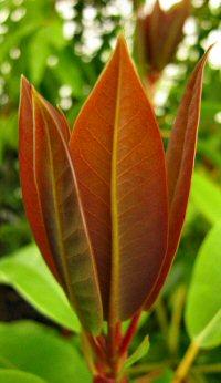 Daphniphyllum pentandrum
