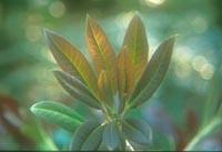 Daphniphyllum macropodum v. humile