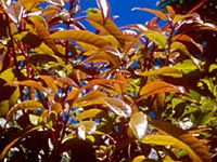 Daphniphyllum paxianum