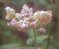 Deinanthe bifida 'Pink-Shi'