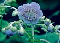 Deinanthe caerulea x bifida 'Blue Blush'