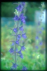 Delphinium aff. sutchuenense